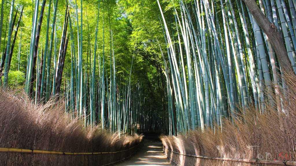 "Бамбуковый лес ""Сагано"" (фото 1)"