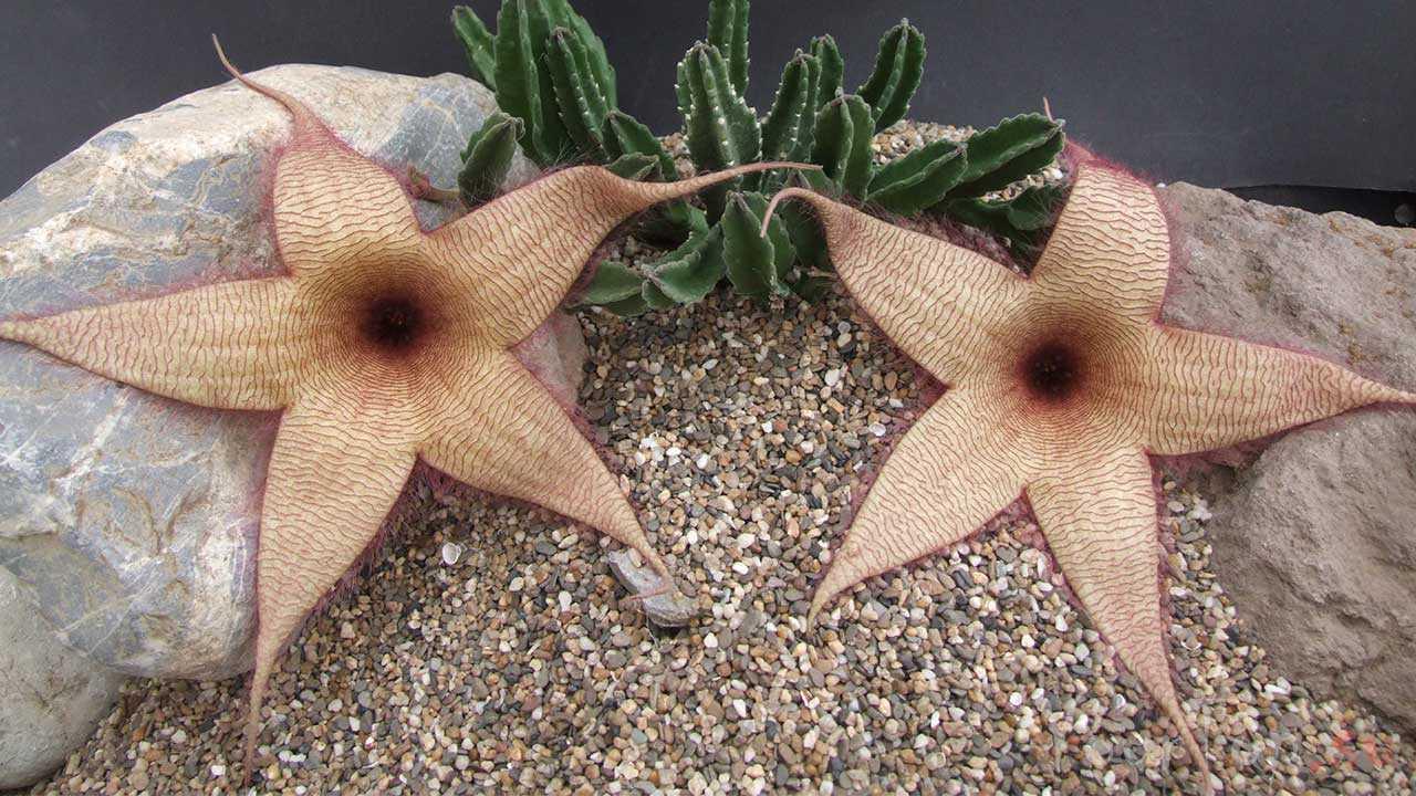 Цветок морской звезды (Stapelia Grandiflora)