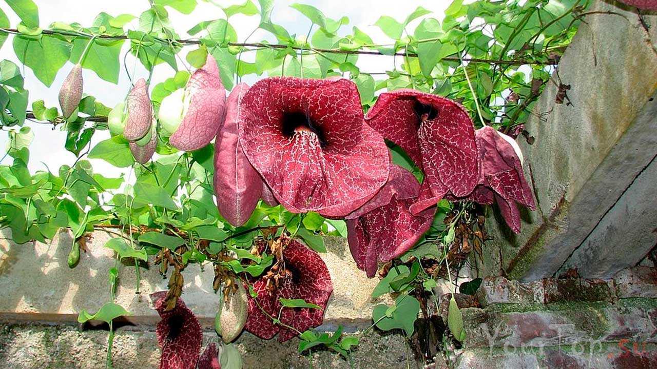 Кирказон гигантский (гигантская голландская трубка) (Aristolochia Gigantea)