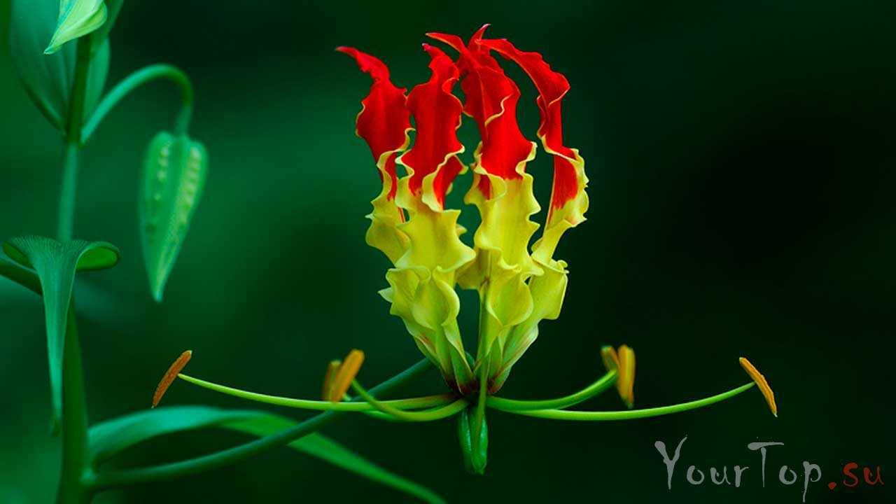 Огненная лилия (Глориоза Суперба)