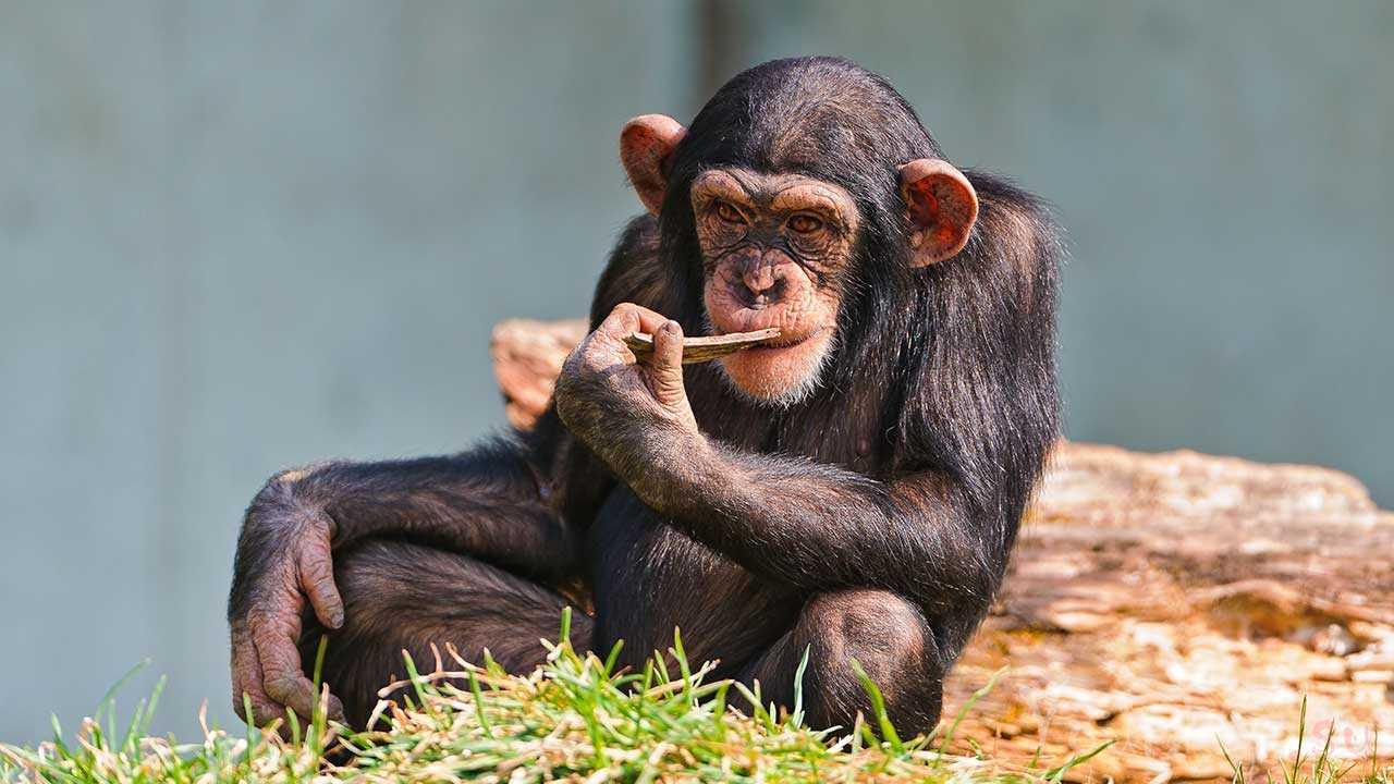Шимпанзе, самое умное животное