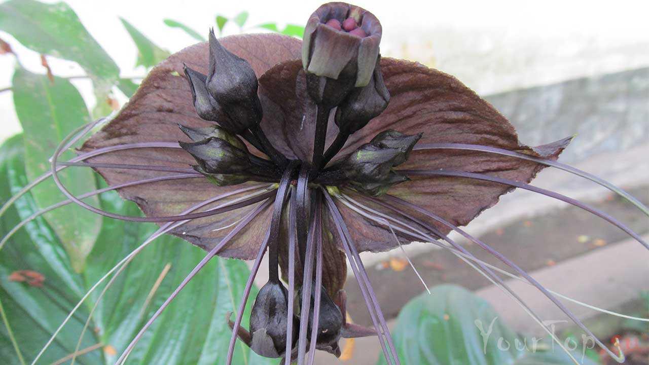 Такка цельнолистная или цветок летучей мыши